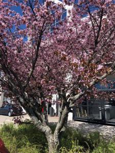 Taas on sen aika, että Toyota Kaivokselan kirsikkapuu puhkeaa upeaan väriloistoon.   Puumme lienee parhaimmassa kukassaan huomis...